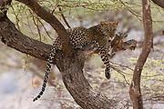 A leopard, Panthera pardus, rests on a tree, Samburu National Reserve, Kenya.