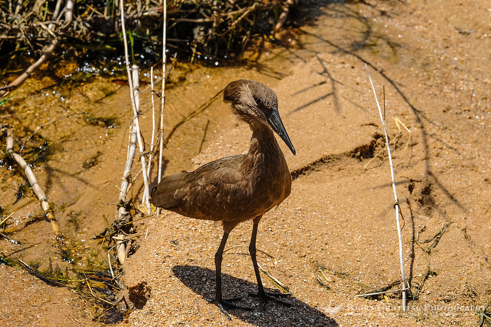 The Hamerkop is a medium-sized wading bird. Kruger National Park, the largest game reserve in South Africa.