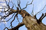 Dead Elm tree, Sherbourne, Gloucestershire, United Kingdom