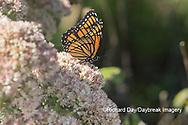 03421-00714 Viceroy (Limenitis archippus) on Autumn Joy Sedum (Sedum spectabile) Marion Co. IL