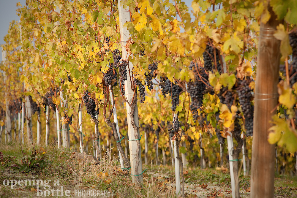 Nebbiolo grapes — the grape variety used to make Barolo and Barbaresco wine — hang from the vine during harvest season near La Morra (Piedmont), Italy.