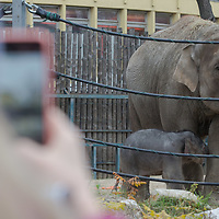 Woman takes photos of the three days old captive born baby elephant (2nd R) when he is introduced to members of the media the first time after its mother Angele (R) gave birth on 8th November in the City Zoo in Budapest, Hungary on Nov. 10, 2017. ATTILA VOLGYI