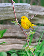 Yellow Warbler (Dendroica petechia) perches on a spring branch.   Point Pelee NP, Ontario, Canada