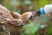 A newborn fawn nurses from a bottle at Wildcare Animal Rescue in Noble, OK.