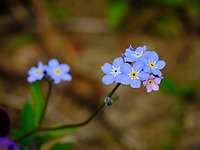 Forget-me-not flowers.  Image taken with a Fuji X-H1 camera and 200 mm f/2 OIS lens + 1.4x teleconverter (ISO 200, 280 mm, f/5.6, 1/480 sec).