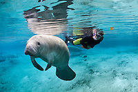 Florida manatee, Trichechus manatus latirostris, a subspecies of the West Indian manatee, endangered. A snorkeler observes a manatee floating at the surface. The manatee seems to be observing too. Another manatee and mangrove snapper, Lutjanus griseus, are in the background. An example of polite passive interaction, observation that is tranquil and peaceful Horizontal orientation with blue water and reflections. Three Sisters Springs, Crystal River National Wildlife Refuge, Kings Bay, Crystal River, Citrus County, Florida USA.