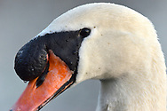 Mute Swan - Cygnus olor - adult male close-up of large basal knob