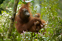 Adult female Walimah with one month old infant.<br />Feeding on Fordia flowers with baby watching closely.<br /><br />Bornean Orangutan <br />Wurmbii Sub-species<br />(Pongo pygmaeus wurmbii)<br /><br />Gunung Palung Orangutan Project<br />Cabang Panti Research Station<br />Gunung Palung National Park<br />West Kalimantan Province<br />Island of Borneo<br />Indonesia