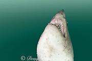 salmon shark (c), Lamna ditropis, Prince William Sound, Alaska, U.S.A. (dm)