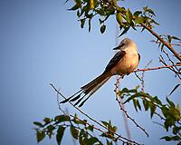 Scissor-tailed Flycatcher (Tyrannus forficatus). Campos Viejos, Texas. Image taken with a Nikon Df camera and 80-400 mm VRII lens.
