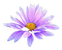 Purple Daisies in a light tent