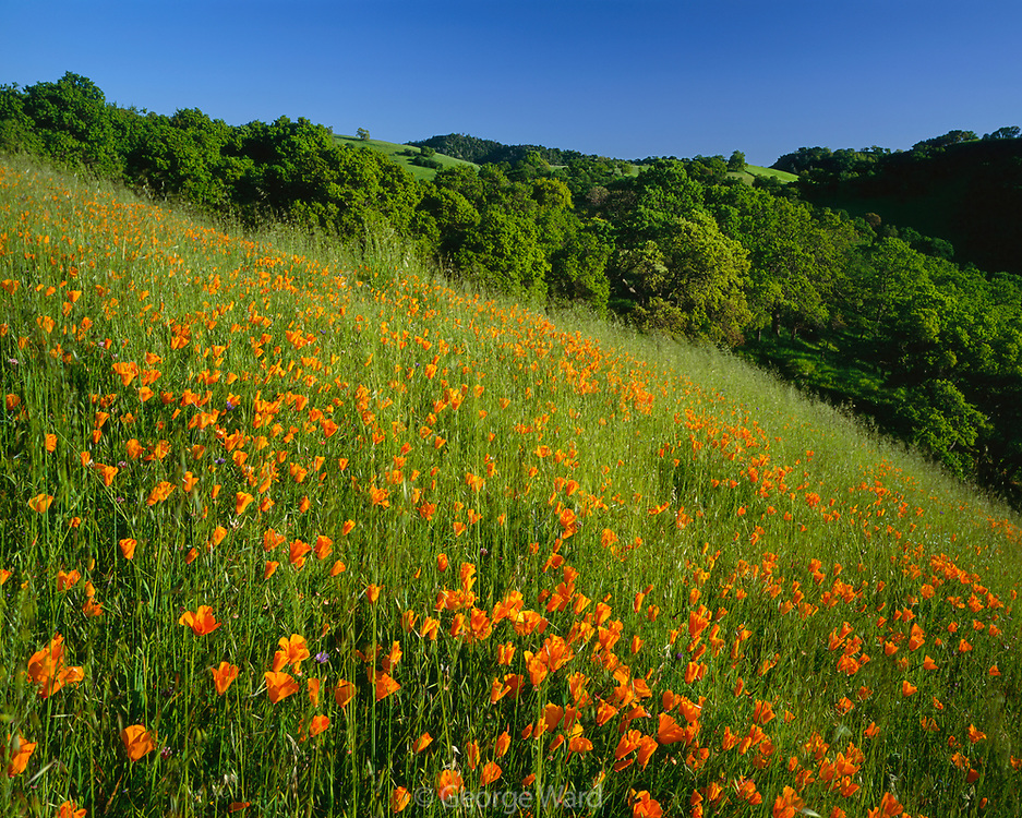 Poppies and Oaks in Spring, Mount Diablo State Park, California