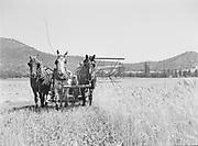 9969-2580. Reaping bearded wheat on a farm near Medford, Oregon. July 18, 1936.