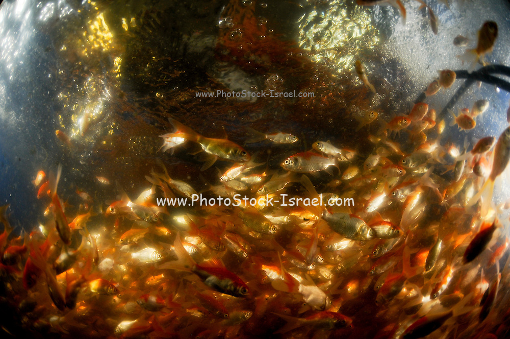 Israel, Coastal Plains, Kibbutz Maagan Michael, comet goldfish, in oxygen enriched water after vaccination