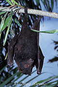 black flying fox, Pteropus alecto, (c)<br /> hanging upside-down from tree branch,<br /> Australia