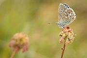 Adonis blue butterfly. Dorset, UK.