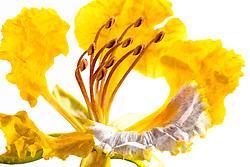 Royal Poinciana -yellow#31
