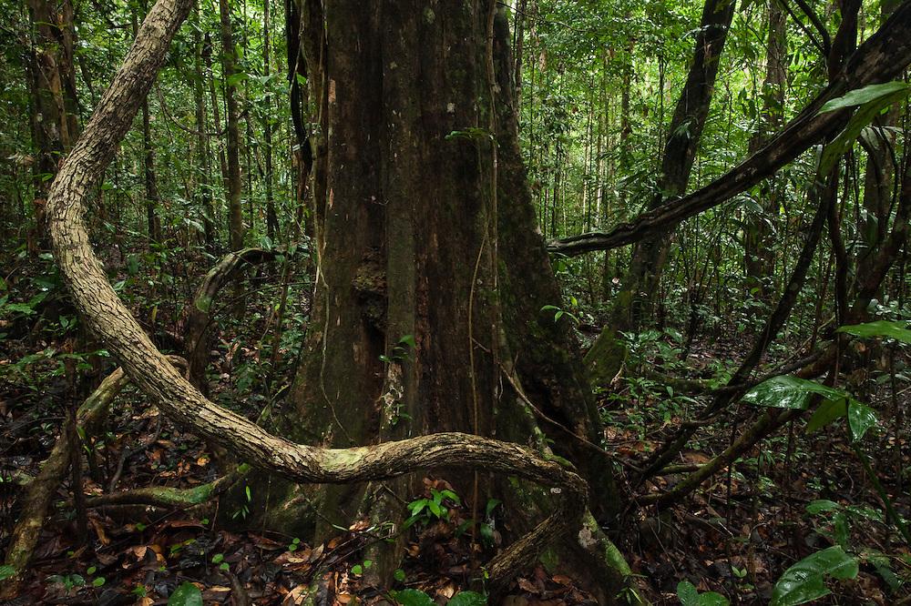 Understory<br /> Iwokrama Forest Reserve<br /> GUYANA<br /> South America