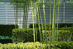 The stems of Bamboo Phyllostachys iridescens. In the Grove Garden. Design: Christopher Bradley-Hole - Chelsea 2005