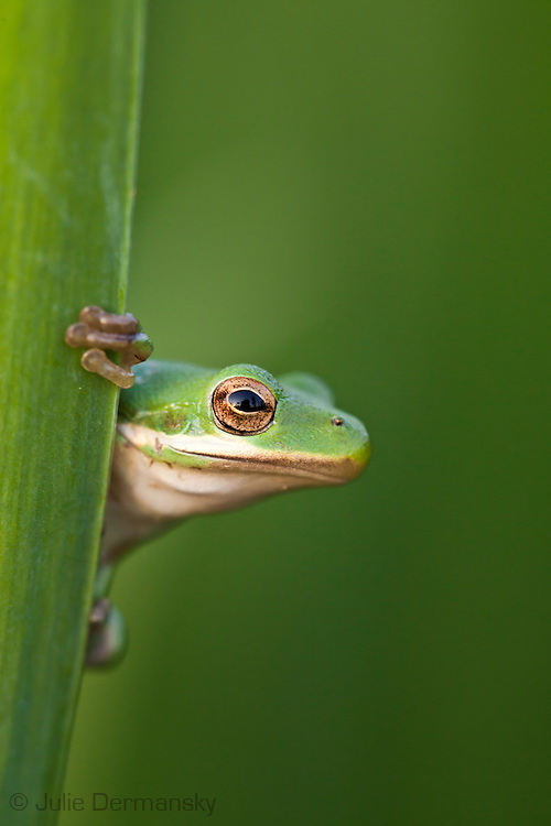 Tree frog on a wild iris in Bayou Labranch, part of Louisiana's wetlands, in early spring.