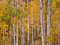 autumn aspen (Populus tremuloides) at Conboy Lake National Wildlife Refuge)