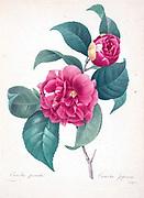 19th-century hand painted Engraving illustration of a Camellia japonica, known as common camellia, Japanese camellia flower, by Pierre-Joseph Redoute. Published in Choix Des Plus Belles Fleurs, Paris (1827). by Redouté, Pierre Joseph, 1759-1840.; Chapuis, Jean Baptiste.; Ernest Panckoucke.; Langois, Dr.; Bessin, R.; Victor, fl. ca. 1820-1850.