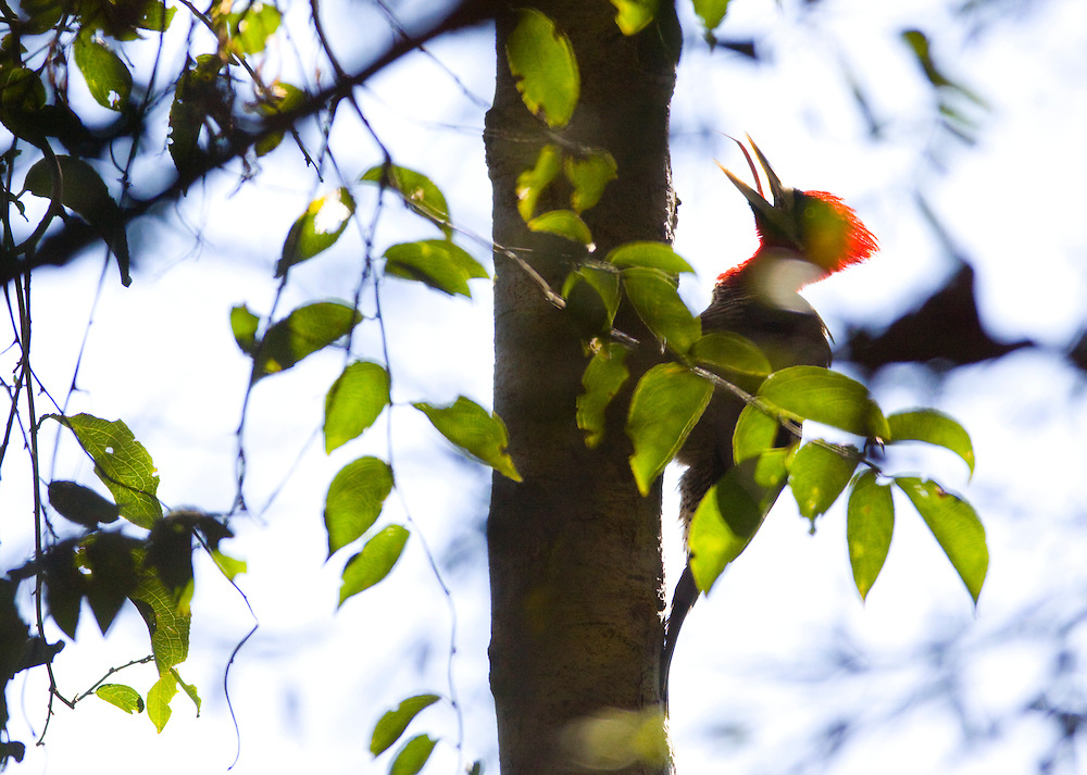 Nova Lima_MG, Brasil...O Pica-pau-de-topete-vermelho (Campephilus melanoleucos) no galho de uma arvore no condominio Passargada...Crimson-crested Woodpecker (Campephilus melanoleucos) on the branch tree in the condominium Passargada...Foto: JOAO MARCOS ROSA / NITRO