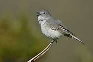 Gray Vireo - Vireo vicinior