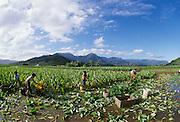 Taro Field, Hanalei, Kauai, Hawaii..