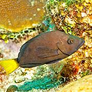 Yellowtail Hamlet inhabit reefs in Tropical West Atlantic; picture taken Grand Turk.