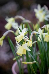 Narcissus 'Lemon Drops' in a terracotta pot