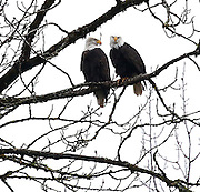 Two bald eagles, perched in a tree overlooking the Skagit River along The North Cascades Highway. December is a popular time to spot eagles along the river. <br /> <br /> Mike Siegel / The Seattle Times