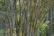 The trunks of second-growth trees appear to fan out from this vantage point in Ravenna Park, Seattle, Washington. Ravenna Park is one of the Seattle's oldest, becoming a city park in 1911 after nearly 25 years of operation as a private park.