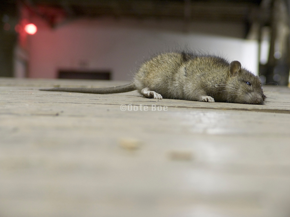 dead rat lying in middle of hall path in an old building