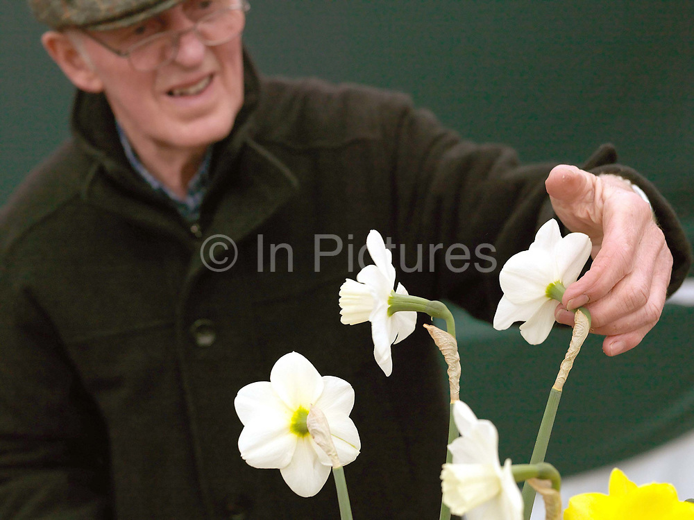 An elderly man inspects a narcissus ready for showing at the Harrogate Spring Show, Harrogate, North Yorkshire, UK