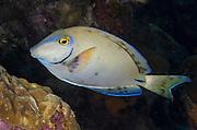Ocean Surgeonfish (Acanthurus bahianus)<br /> BONAIRE, Netherlands Antilles, Caribbean<br /> HABITAT & DISTRIBUTION: Reefs. <br /> Florida, Bahamas, Caribbean, Gulf of Mexico, Burmuda south to Brazil.