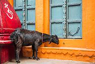 Goat on the streets of Varanasi, Uttar Pradesh, India