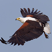 African fish eagle (Haliaeetus vocifer), Londolozi Game Reserve,  Great Limpopo Transfrontier Park, South Africa
