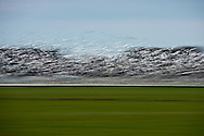 motion blur of a Snow Goose (Chen caerulescens) flock flyng in a panic because of a bald eagle attack at Fir Island, Skagit River delta, Puget Sound, Washington, USA  The eagle is on the ground with a goose it had targeted successfully.