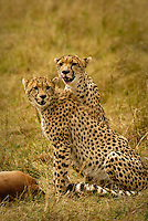 Two Cheetahs with an Impala kill in the Masai Mara National Park, Kenya