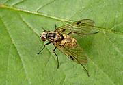 Close-up of a Black snipefly (Chrysopilus cristatus) resting on a leaf in a Norfolk woodland habitat in summer.