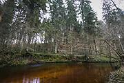 Narrow line of spruce forest along river Loja in december, Murjāņi, Gauja National Park (Gaujas Nacionālais parks), Latvia Ⓒ Davis Ulands   davisulands.com