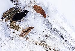 THEMENBILD - Schottische Hochlandrinder auf einer Weide an einem Futterplatz im Schnee aufgenommen am 15. Januar 2019 in Kaprun, Österreich // Scottish highland cattle on a pasture at a feeding place in the snow, Kaprun, Austria on 2019/01/15. EXPA Pictures © 2018, PhotoCredit: EXPA/ JFK