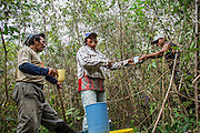 The preparation of the forest before the burning requires the involvement of the whole community. Here, during a pause, they are drinking the local cassava juice. The agricultural system of the indigenous communities provides a rotating system of the arable lands. Every 10-15 years, they return to the land abandoned after a preceding crop (South Rupununi).