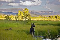 Cow and Calf Moose, alert, meadow, pond, Grand Teton National Park