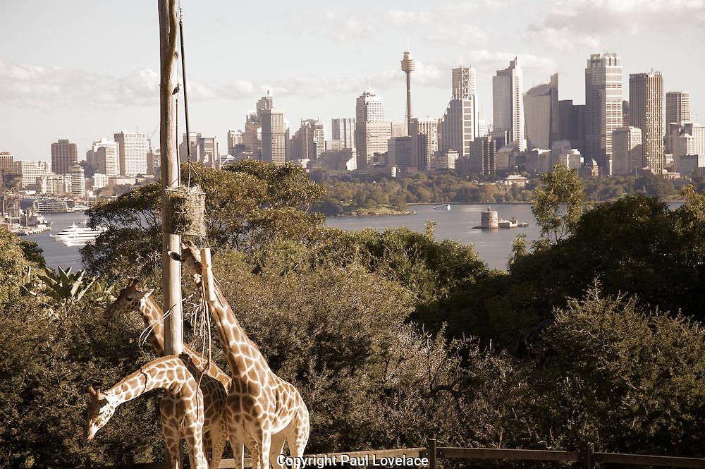 Giraffe at Toronga Zoo, Sydney, Australia