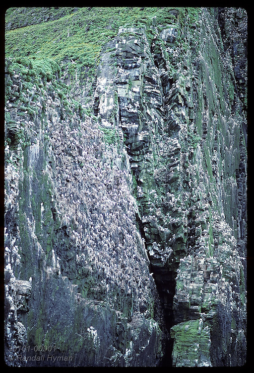 Kittiwakes nest on every nook of sea cliff-- note hanging ropes used in egg harvesting;Hornbjarg Iceland