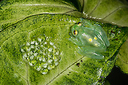 Glass Frog & Eggs  (Hyalinobatrachium aureoguttatum) CAPTIVE<br /> Chocó Region of northwest Ecuador on Colombian Border<br /> ECUADOR. South America<br /> Threatened species due to habitat loss.<br /> RANGE: Northern Ecuador, Colombia north to Panama