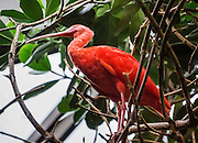 The Scarlet Ibis (Eudocimus ruber, in the bird family Threskiornithidae) inhabits tropical South America and islands of the Caribbean. Photographed in the Vancouver Aquarium, 845 Avison Way, Vancouver, British Columbia, V6G 3E2, CANADA. Their color comes from food that's rich in carotene. This medium-sized wader is a hardy, numerous, and prolific bird that is protected around the world. (A number of scientists want to reclassify it as a subspecies of a more general American ibis species along with its close relative Eudocimus albus.)