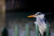 Grey Heron, Ardea Cinerea on the bank of the Tolka River, by Fairview Park in Dublin today (02/02/2009).